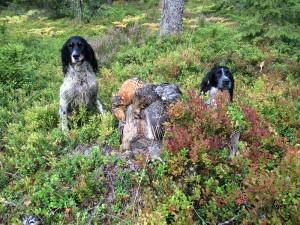 Skogsfågeljakt Småland (7)